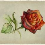Інфармацыя пра ружу